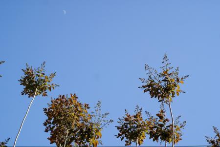 スモークツリーの蕾