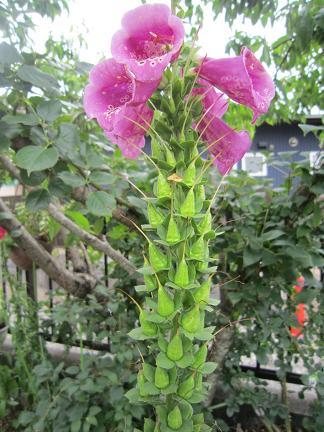 ジキタリス種