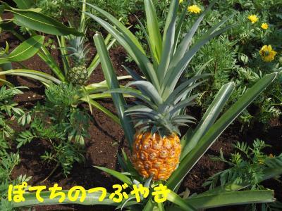 20130815 パイナップル