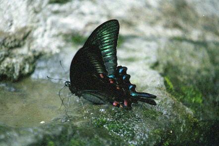 水を飲む蝶