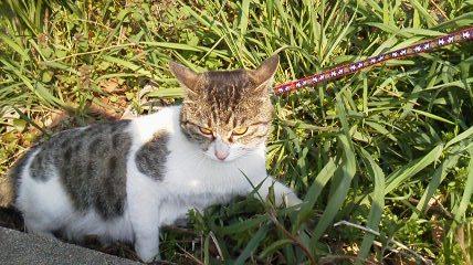 ハーネスの猫1