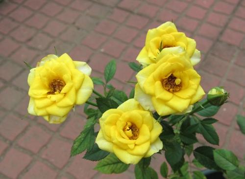 ミニバラ 黄