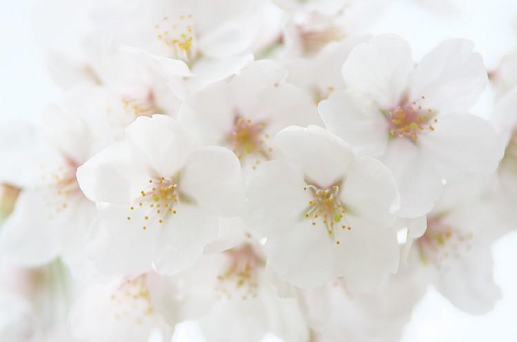 もう少し桜