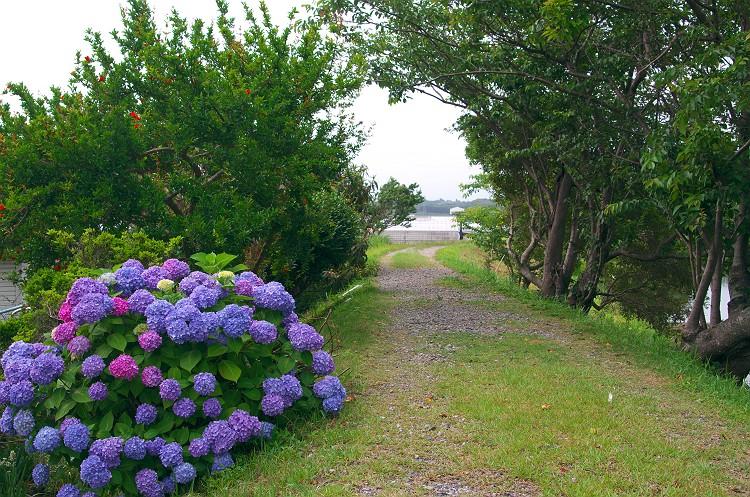 紫陽花が咲く小径