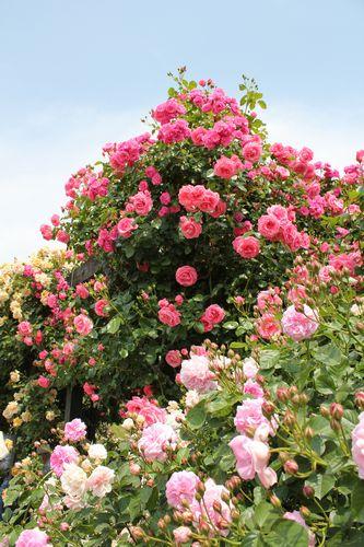 愛しのバラたち