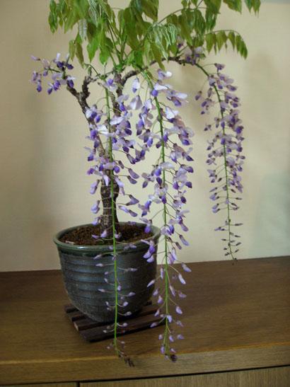 紫藤 盆栽
