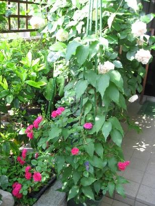 5月の庭 056 (308x410)