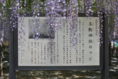加須市騎西の藤001