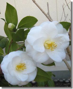 椿の花.jpg