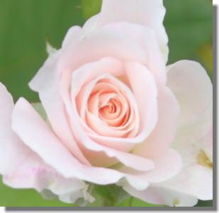 ピンクアイスバーグー4.jpg