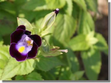 トレニアー紫.jpg