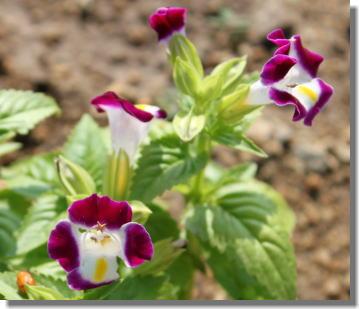 トレニアー赤紫.jpg