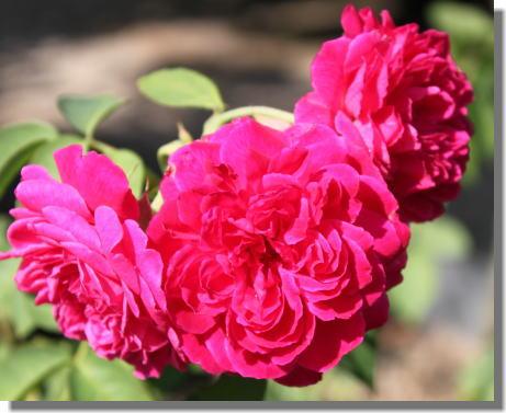薔薇の名無しさん.jpg