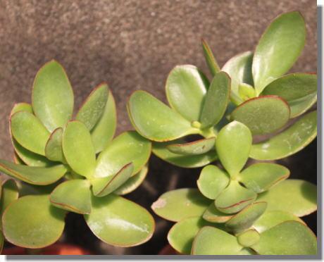 多肉植物ー3.jpg