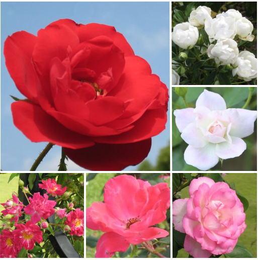 薔薇ー2.jpg