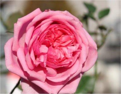 フォーエバーローズ(ピンク).jpg