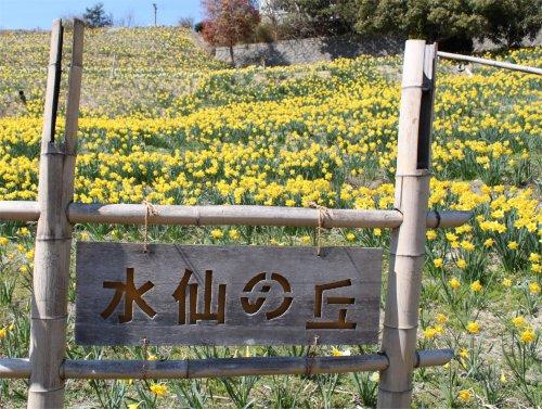 水仙の丘ー1.jpg