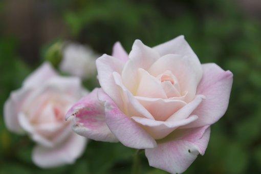 ピンク・アイスバーグ.jpg