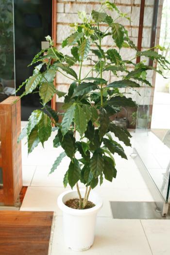 20130620コーヒーの木