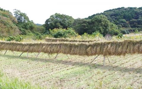 稲刈り2013⑨