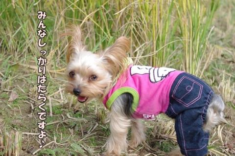 稲刈り2013⑦