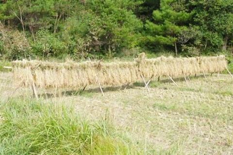 稲刈り2013⑲