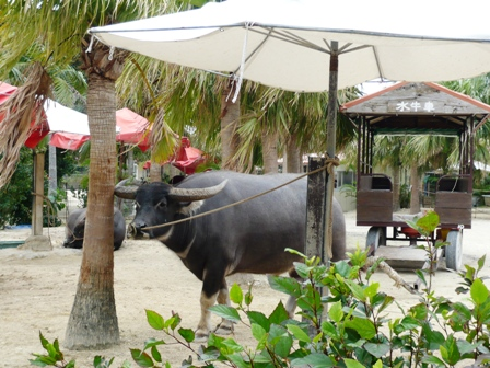 新田観光:水牛車