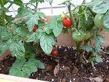 130626_保育園トマト