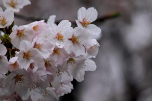 お花見散歩4