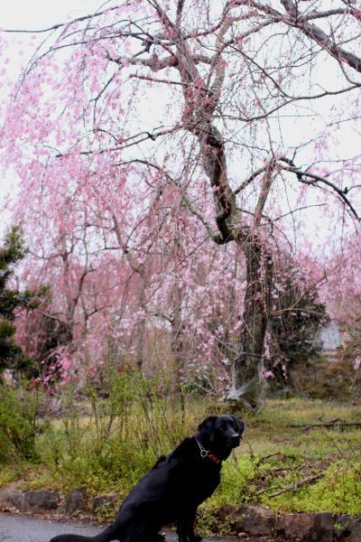 お花見散歩9