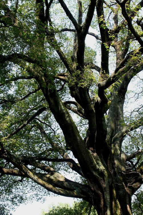 モチモチの木