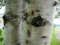 なぜかこの木に抜け殻がびっしり!