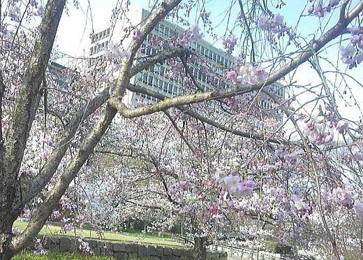 大阪城の桜2017