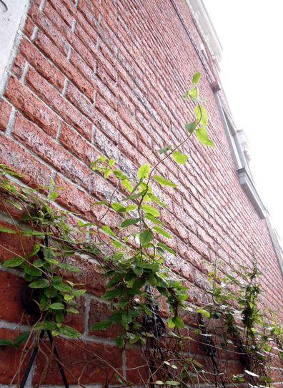 つたのある壁