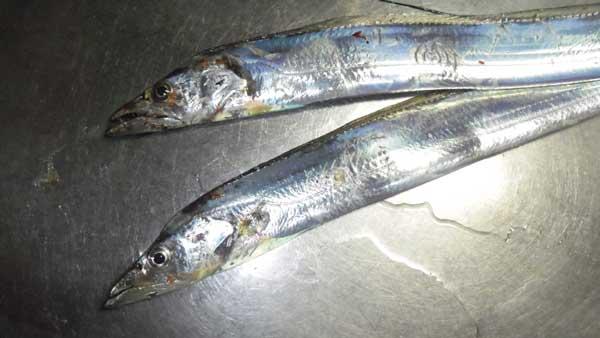 太刀魚ワインド 全部で5匹