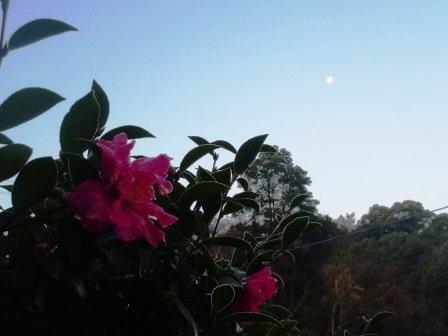 山茶花(2013-12-22)