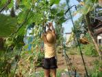 胡瓜の収穫