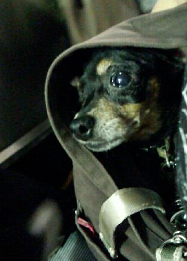 保護犬 超極小ミニピン 里親