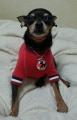 ミニチュアピンシャー 極小小豆 保護犬