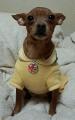極小デブピン 保護犬 ミニチュアピンシャー