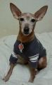 ミニチュアピンシャー 保護犬