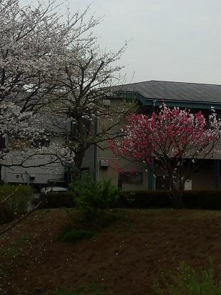 2013は梅と桜が一緒に開花しました。