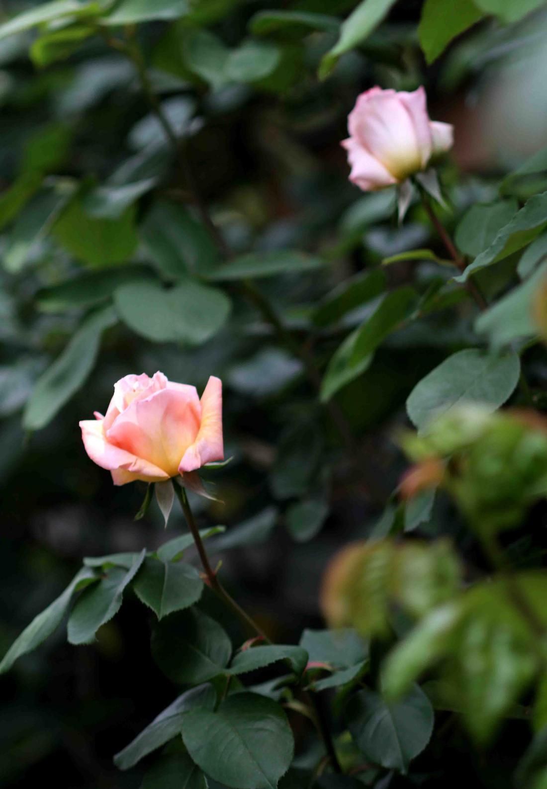 バラ日和 0429(8)