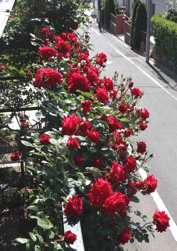 5月のバラ(5) アンクルウォルター