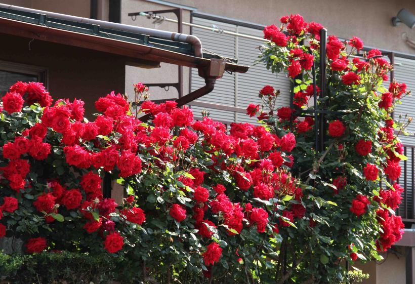 5月のバラ(6) アンクルウォルター