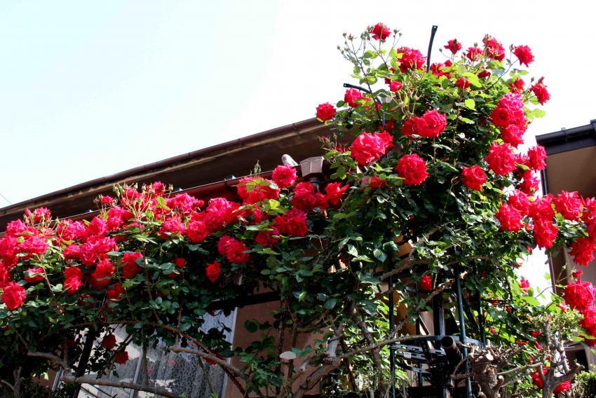 5月のバラ(7) アンクルウォルター