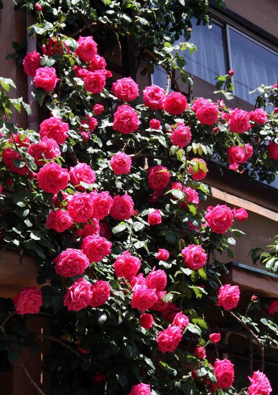 5月のバラ(1) つるマリアカラス