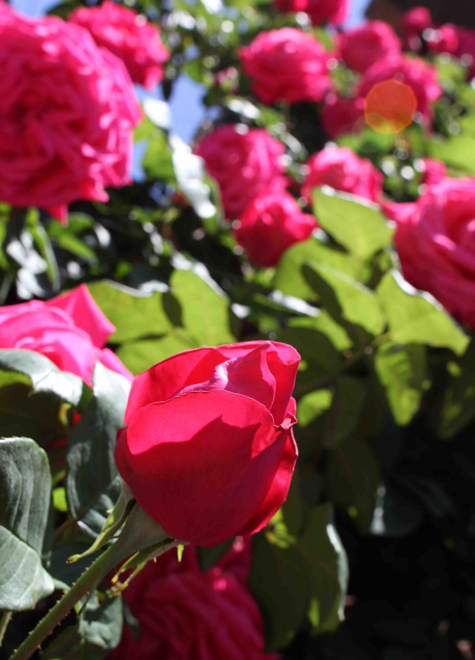 5月のバラ(2) つるマリアカラス
