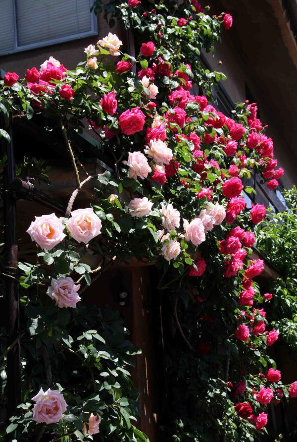 5月のバラ(3) つるマリアカラスとコンフィダンス