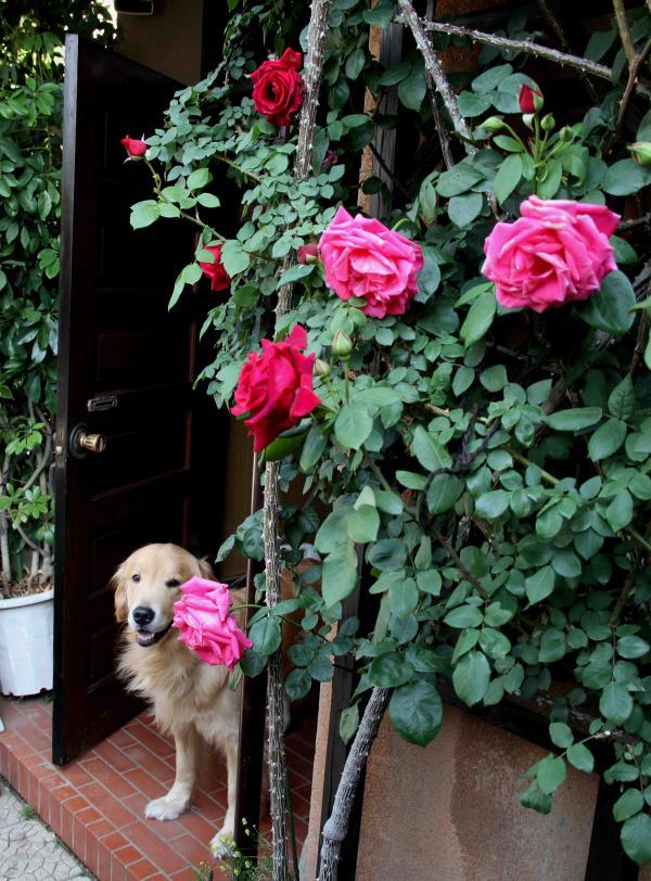 5月のバラ(4) つるマリアカラスとクリムソングローリー&ヒット